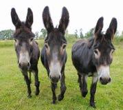Three donkeys on a meadow. Of a farm in Germany, Lower Saxony, Emsland Royalty Free Stock Photo
