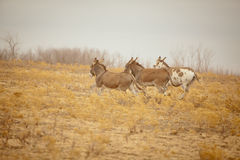 Three donkeys on the run Stock Images
