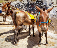 Three donkeys. From santorini island stay together Stock Photos
