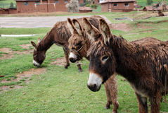 Three donkeys standing in a field Royalty Free Stock Image