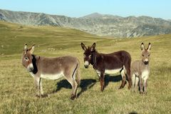 The three donkeys stock photography