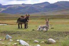 Three donkeys Stock Photography
