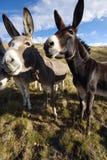 Three donkeys wating something to eat Stock Photos