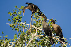Three Double-Crested Cormorant Perched High in a Tree Royalty Free Stock Photography