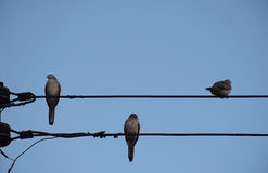 Three Dove bird on power line against clear sky background. Stock Images