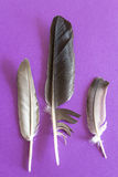 Three dove feathers on a purple background Stock Image