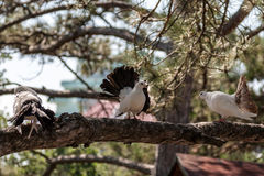 Three doves on a branch of pine Stock Photos