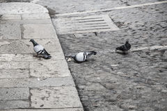 Three doves in a city Stock Images