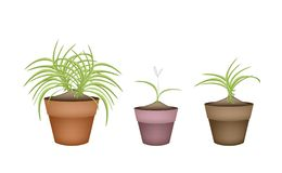 Three Dracaena Plants in Ceramic Flower Pots Stock Photo