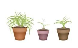 Three Dracaena Plants in Ceramic Flower Pots Stock Photo