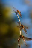 Three Dragon Flies Resting on Branch. Freshly Hatched dragon flies are sunning their wings in the evening sun Stock Photos