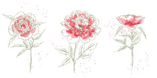 Three drawn peony. Isolated on white background Stock Photography