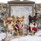Three dressed-up Chihuahuas on a bridge Stock Images