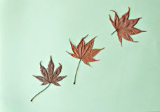 Three dried maple leaves on green background Stock Images