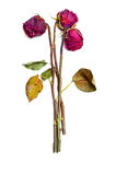 Three dried red roses. Isolated on white background Stock Photos