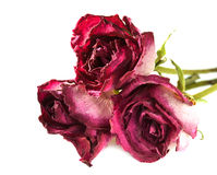 Three dried roses Royalty Free Stock Photography