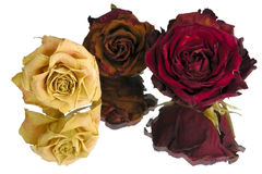 Three dried roses Stock Photography