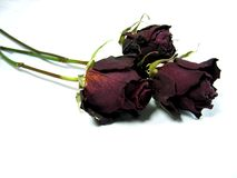 Three dried roses. Great symbol for describing romance, love, faith and feelings in general Stock Photo