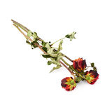 Three dried roses over the white isolated background Royalty Free Stock Photos
