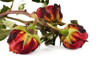 Three dried roses over the white isolated background Royalty Free Stock Images