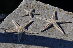 Three dried starfishes (asteroidae) on concrete molo Royalty Free Stock Photo