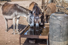 Three drinking donkeys in Morocco. Three donkeys enjoying the drinking water Stock Images