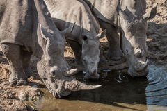 Three drinking White rhinos Stock Photos