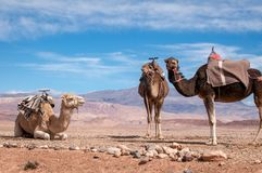 Traditional Dromedaries in Moroccan desert stock image