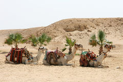 Three dromedaries. Wait in desert Egypt for tourist Stock Photography