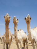 Three dromedary camels Royalty Free Stock Images
