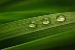 Three drops of water on a green leaf Stock Image