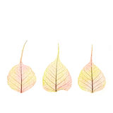 Three dry Autumn color Leaves - cell structure - isolated Stock Images
