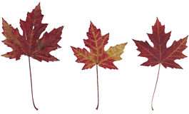 Three dry autumn maple leaves. On a white background Royalty Free Stock Photography