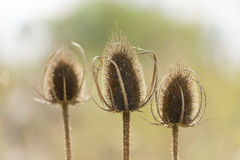 Three dry flowers with thorn sunny back light. Royalty Free Stock Photo