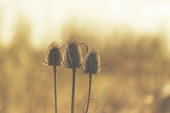 Three dry flowers with thorn sunny back light effect. royalty free stock photography