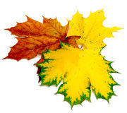 Three dry maple leaves miscellaneous of color Stock Images