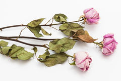 Three dry pink roses Royalty Free Stock Photos