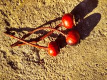 Three red dry rose hips on concrete stock photography