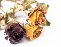 Three dry roses Royalty Free Stock Image