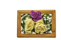 Three dry roses with leaves, two white roses, one pink rose, inside a wooden frame stock images
