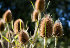 Three Dry Teasel Seed Pods. Close-up three teasels in sunlight, more pods out of focus and some blurry trees in background Stock Photo