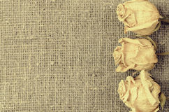 Three dry white roses on linen canvas background Stock Photos