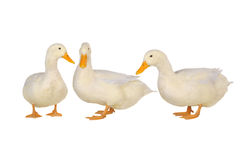 Three duck Stock Photos