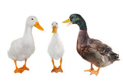 Three duck Stock Images