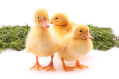 Three duckling Royalty Free Stock Image