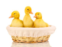 Three duckling in basket Stock Images