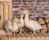 Three duckling grown Royalty Free Stock Image