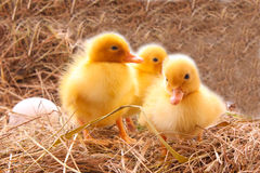 Three duckling guarding eggs Stock Photo