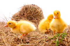 Three duckling in hay Royalty Free Stock Photo