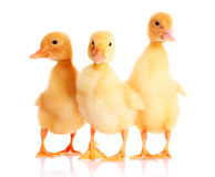 Three duckling isolated Stock Photos